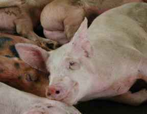 Cruel Transport of Pigs to Hawaiʻi Ends